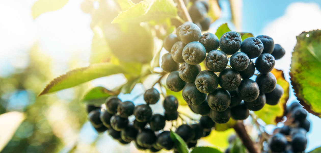 Everything you need to know about the aronia berry - aronia+